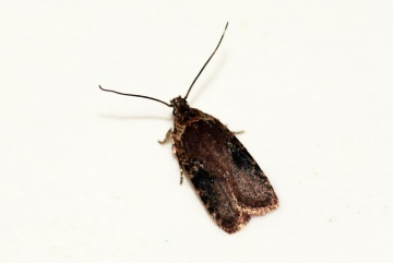 Agonopterix purpurea Copyright: Ben Sale