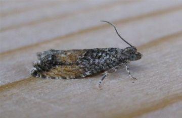Epinotia nisella. Copyright: Stephen Rolls