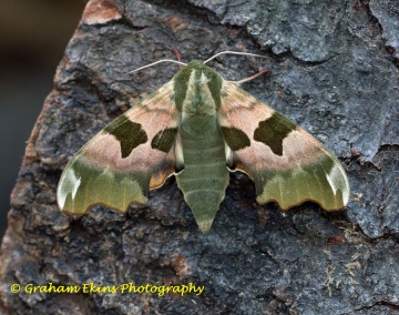 Lime Hawk-moth 10 Copyright: Graham Ekins