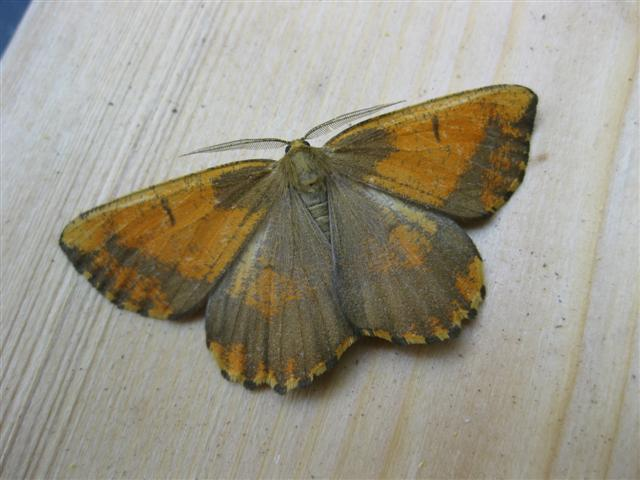Orange Moth. Copyright: Stephen Rolls