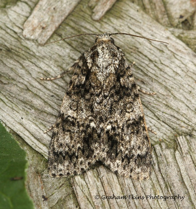 Acronicta rumicis   Knot Grass Copyright: Graham Ekins