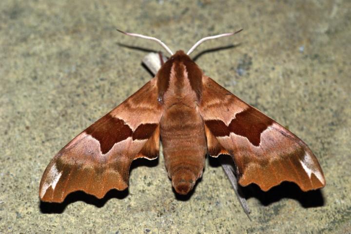 Lime Hawk-moth f.brunnea Copyright: Ben Sale