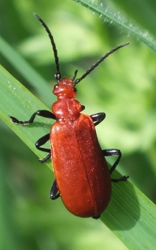 Red-Headed Cardinal Beetle  (Pyrochroa serraticornis) Copyright: Peter Pearson