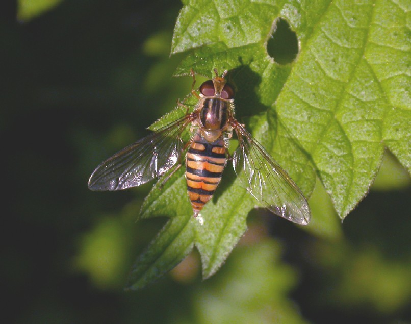 A hoverfly -  Episyrphus balteatus (WTCP 10-05-07). Copyright: Malcolm Riddler