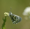 Orange Tip (female and ovum) Copyright: Robert Smith