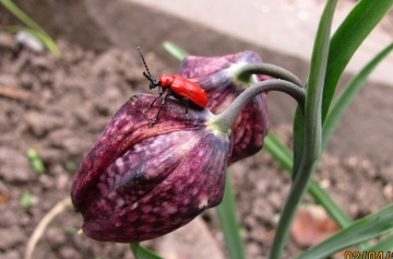 Lily Beetle Copyright: Graham Smith