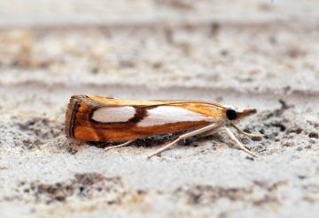 Catoptria pinella 4 Copyright: Ben Sale