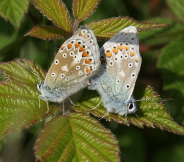 Common Blue (in cop) Copyright: Robert Smith