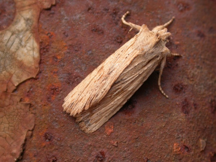 Pale pinion 3 Copyright: Graham Bailey