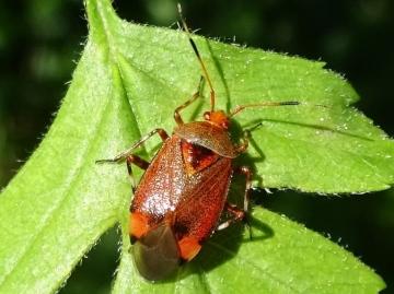 Deraecoriz olivaceus on hawthorn. Copyright: Raymond Small