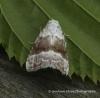 Meganola albula  Kent Black Arches Copyright: Graham Ekins