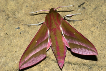 Elephant Hawk-moth 2 Copyright: Ben Sale