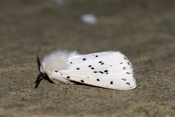 White Ermine 5 Copyright: Ben Sale