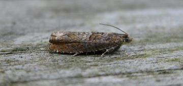 Epinotia tetraquetrana Copyright: Stephen Rolls