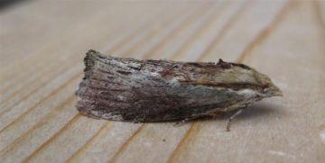 Wax Moth. Copyright: Stephen Rolls