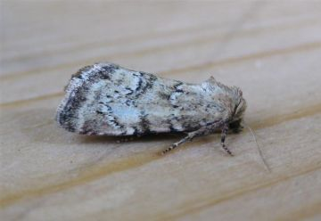 Small Dotted Buff Copyright: Stephen Rolls