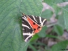 Jersey Tiger 2 Copyright: Ben Sale