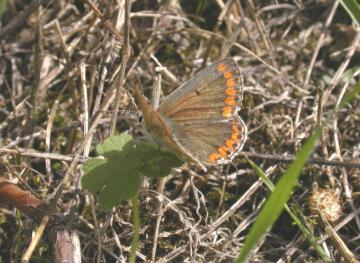 Brown Argus Copyright: Malcolm Riddler