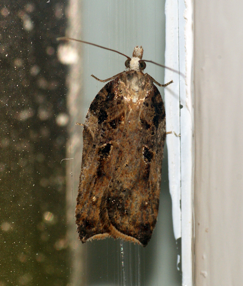 Acleris cristana 6 Copyright: Ben Sale