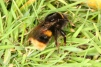 Bombus terrestris Copyright: Peter Harvey
