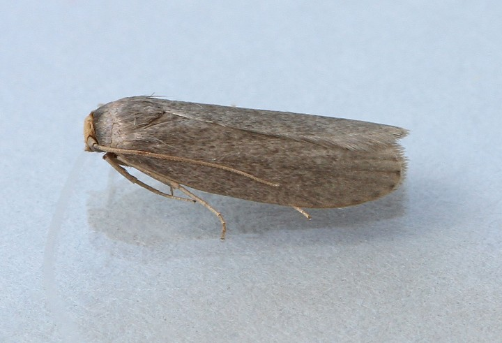 Lesser wax Moth 2 Copyright: Graham Ekins