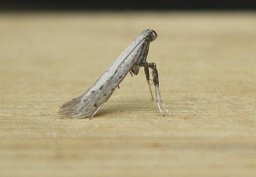 Aspilapteryx tringipennella Copyright: Stephen Rolls