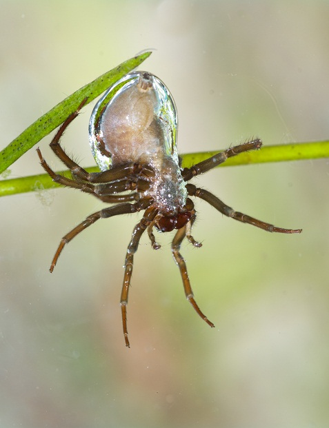 Water Spider Copyright: Neil Phillips