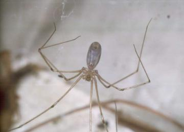 Pholcus phalangioides-2 Copyright: Peter Harvey