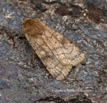 Six-striped Rustic  Xestia sexstrigata 2 Copyright: Graham Ekins