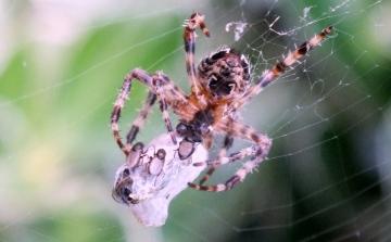 Garden Spider Copyright: Peter Pearson