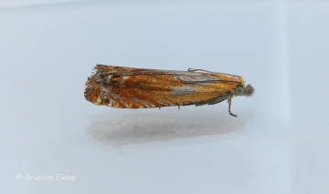 Lathronympha strigana  2 Copyright: Graham Ekins