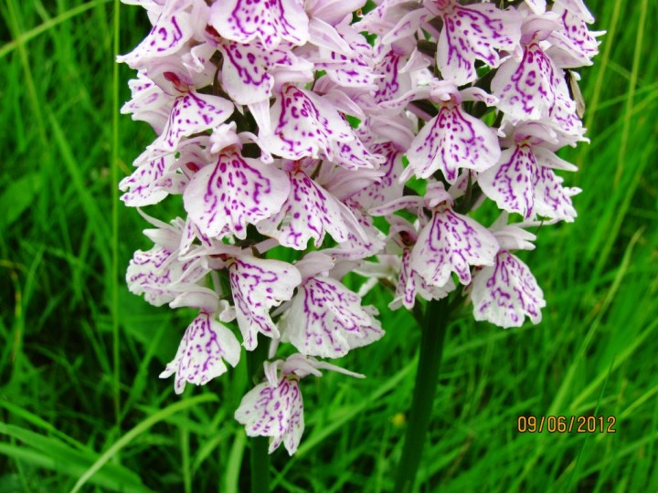 Heath Spotted Orchid Copyright: Graham Smith