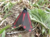 Cinnabar Copyright: Sue Grayston