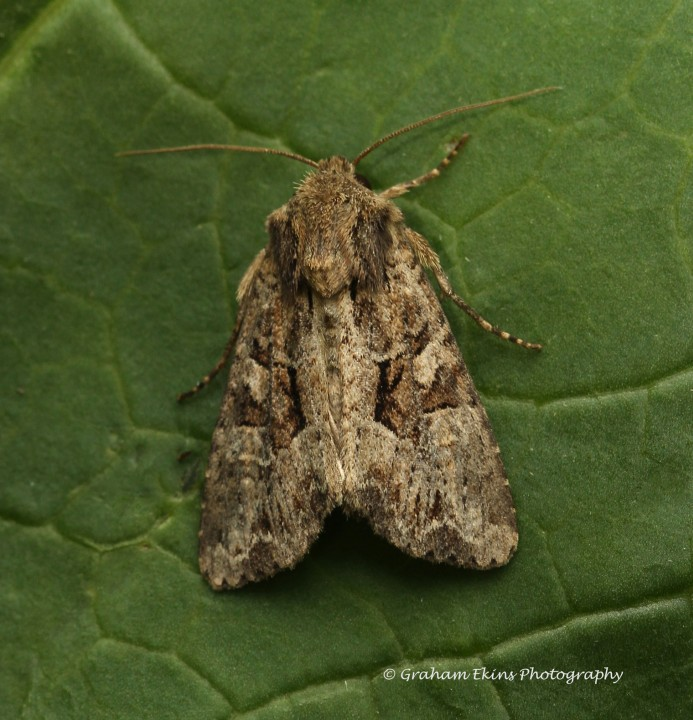 Apamea remissa  Dusky Brocade 3 Copyright: Graham Ekins