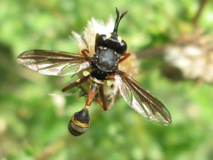 Hymenoptera species Copyright: Christopher Rawlimgs