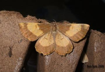 Orange Moth f.corylaria (Female) Copyright: Ben Sale