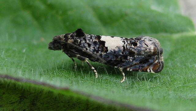 Epiblema scutulana. No gen ex. Copyright: Stephen Rolls