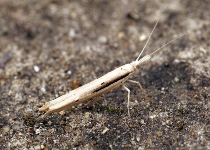 Ypsolopha mucronella (correct) Copyright: Ben Sale