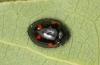 Pine ladybird adult Copyright: Peter Harvey