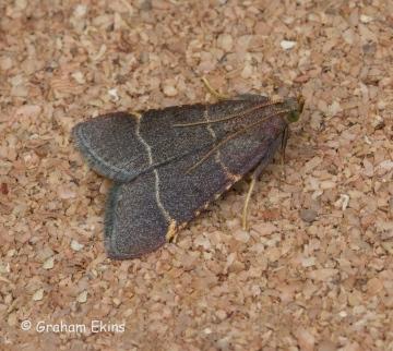 Hypsopygia glaucinalis Copyright: Graham Ekins