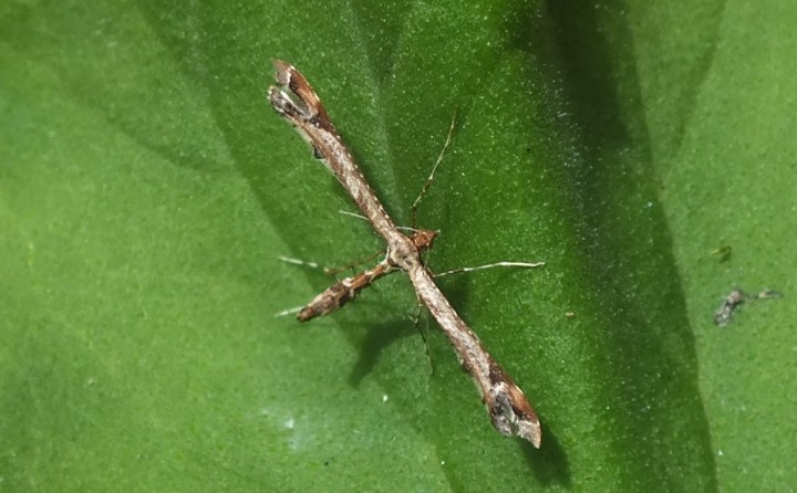 Amblyptilia acanthadactyla (On geranium) Copyright: Peter Pearson