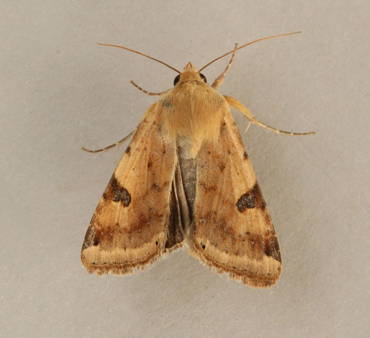 Bordered Straw   Heliothis peltigera Copyright: Graham Ekins