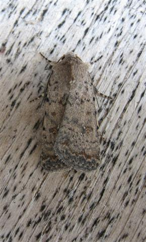 Pale Mottled Willow Copyright: Stephen Rolls