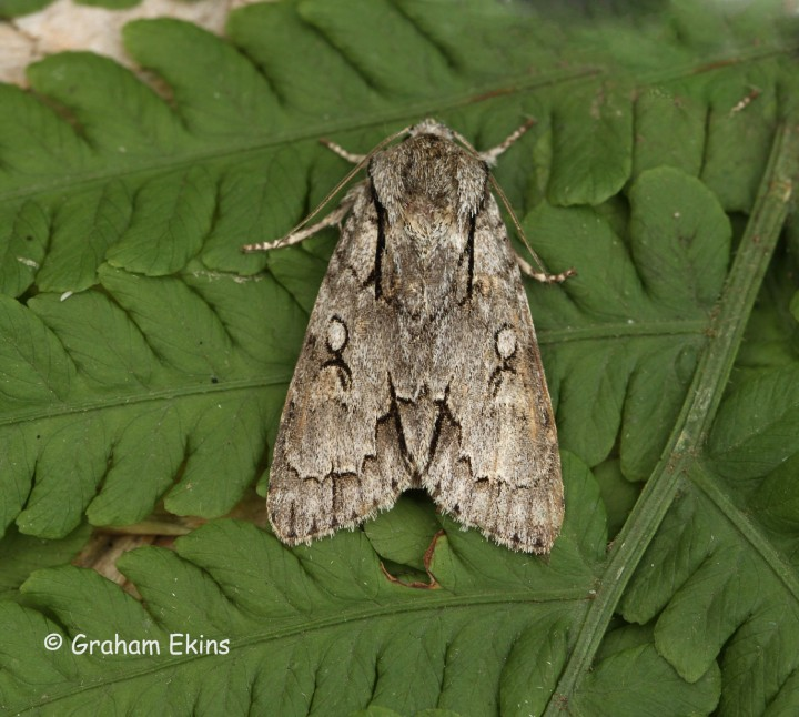 Acronicta psi  Grey dagger 6 Copyright: Graham Ekins