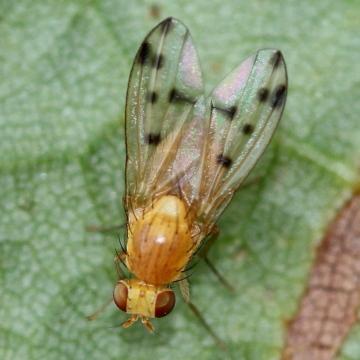 Homoneura notata female Copyright: Jeremy Richardson