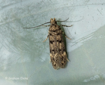 Bryotropha domestica 4 Copyright: Graham Ekins
