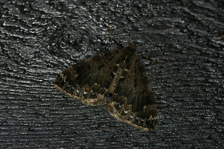 Common Marbled Carpet 4 Copyright: Ben Sale