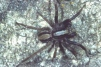 Alopecosa pulverulenta Copyright: Peter Harvey