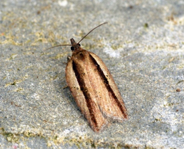 Acleris hastiana 2 Copyright: Ben Sale