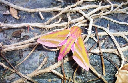Elephant Hawk Moth Copyright: Graham Smith